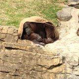 多摩動物公園のライオンバス再開が待ち遠しい
