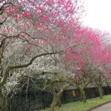 暖冬を検証!~高尾梅郷の花々を求めて~
