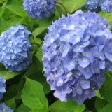 アジサイ・・・漢字で紫陽花と書くワケとロマンスの花