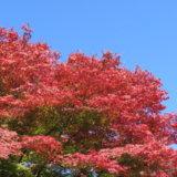 カエデ燃ゆ!~陽光受けて色鮮やかに秋を彩る~
