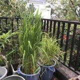 武蔵国分寺種赤米のはなし(8)〜バケツ稲の土について新提案と実験・考察〜