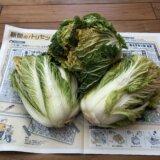 霜が降りる前に白菜の頭縛りをするワケ