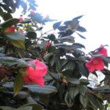 〖ヤブツバキ〗~早春に紅色の花開く~