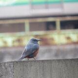ついに出会った野鳥!・・・その名はイソヒヨドリ