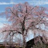 多摩の桜百景