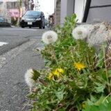 多摩で出会った花 <em>~episode3~</em> <br> タンポポ見てわが身の置き所を考える  藤井進