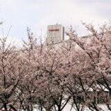 多摩で出会った花 <em>~episode5~</em> <br> 府中の桜  もっくん